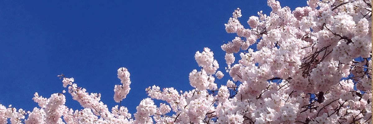 banner cherry-blossoms